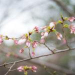 桜がスタンバイしていました!