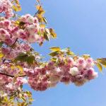 八重桜を見て思い出すこと